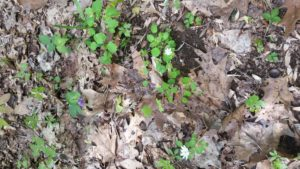 May flowers and last year's leaf litter.