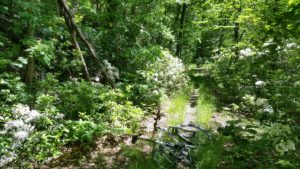 Woods, trail and mountain laurel