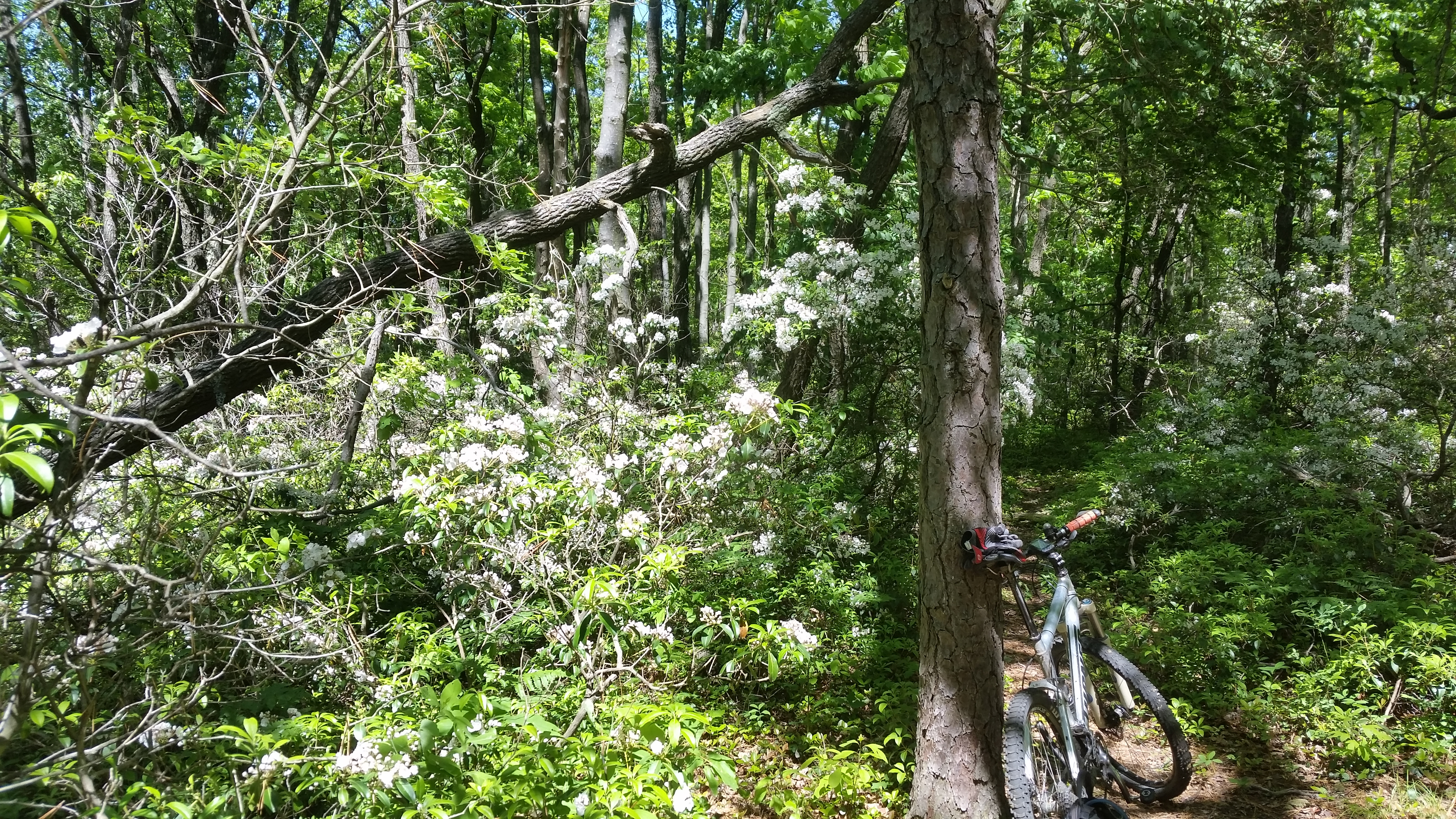 Blooming mountain laurel and bicycle