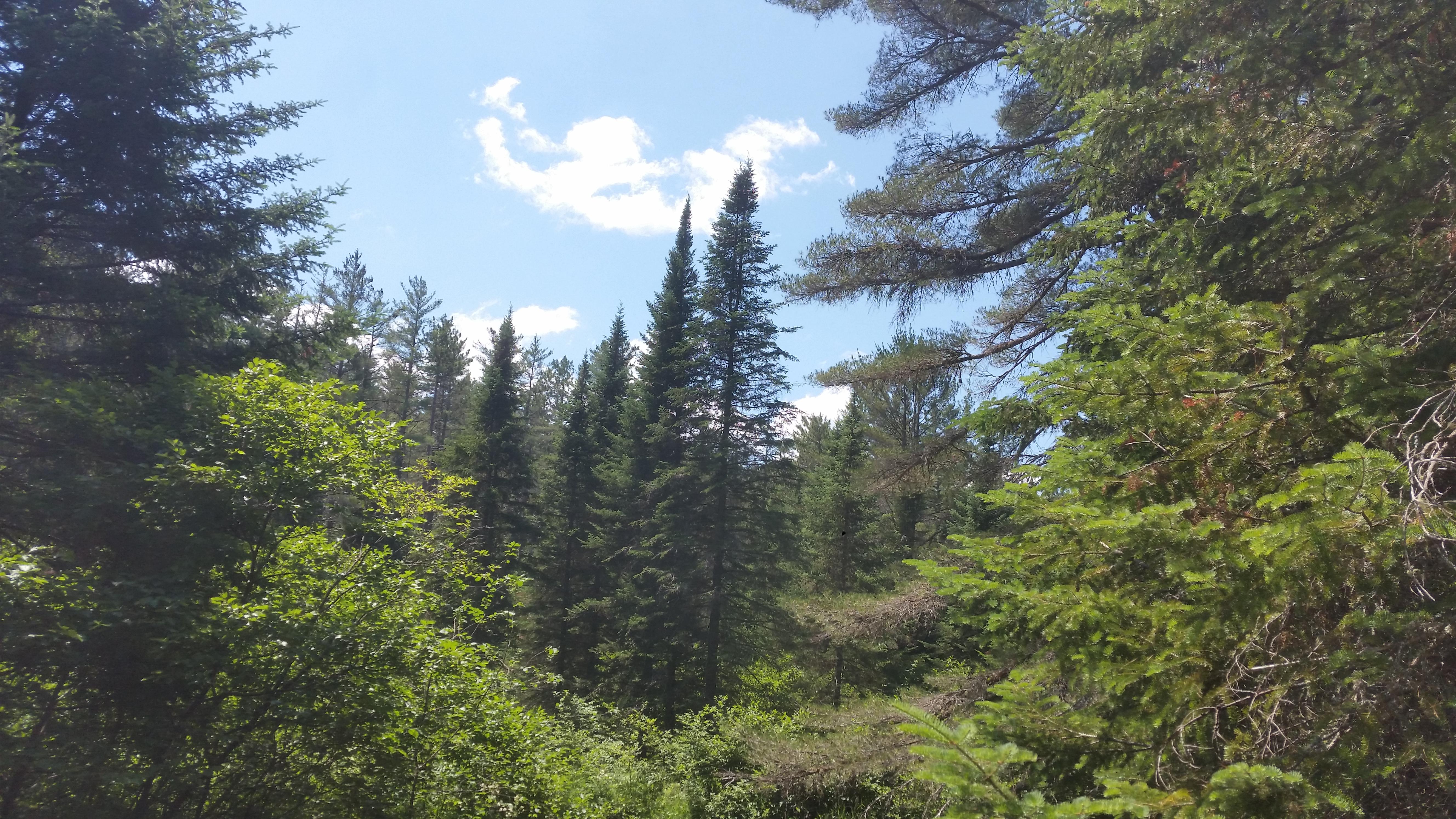 pine trees and sky