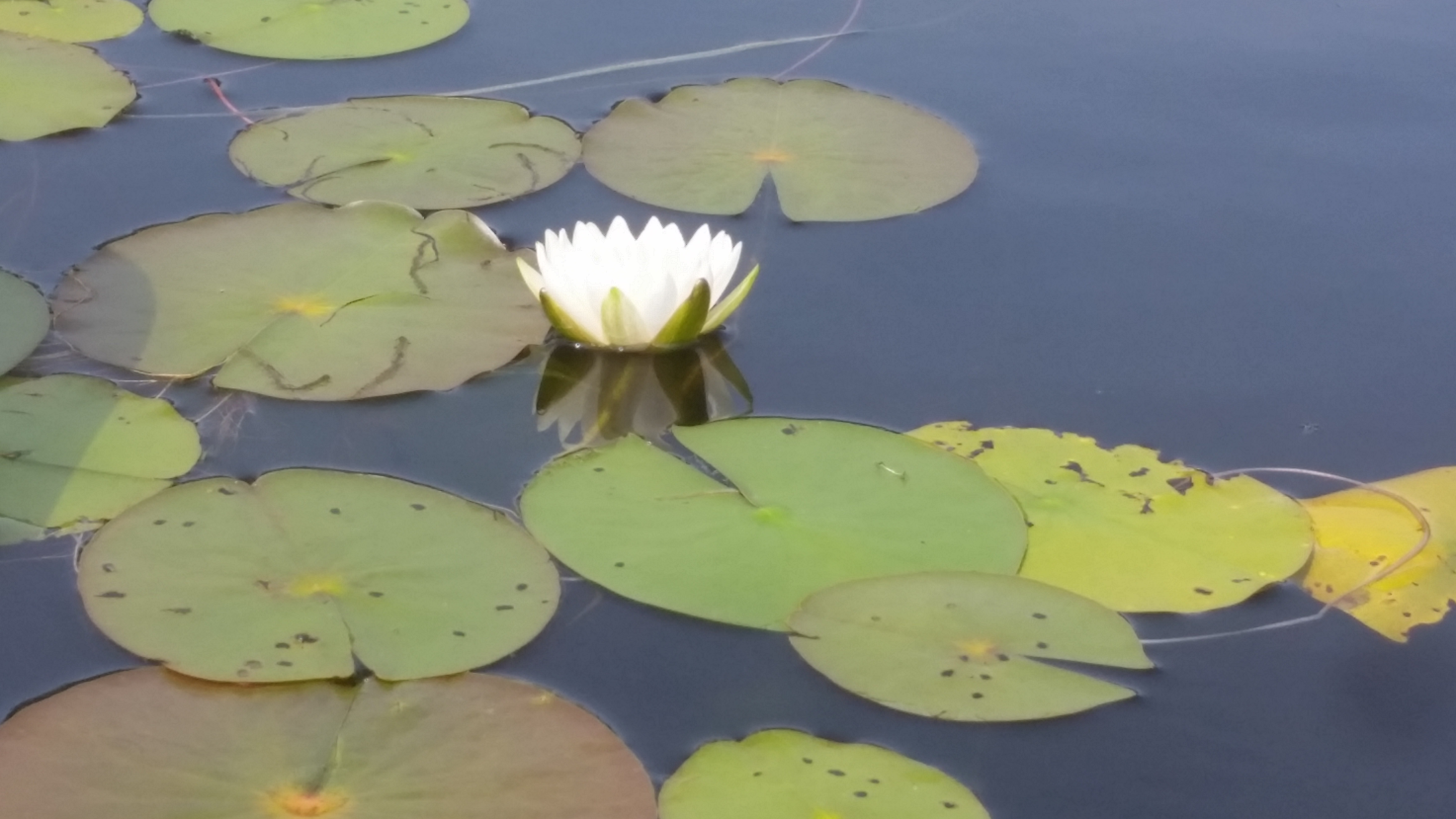 water lillies and flower