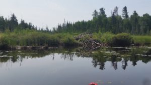 beaver lodge on swampy lake shore