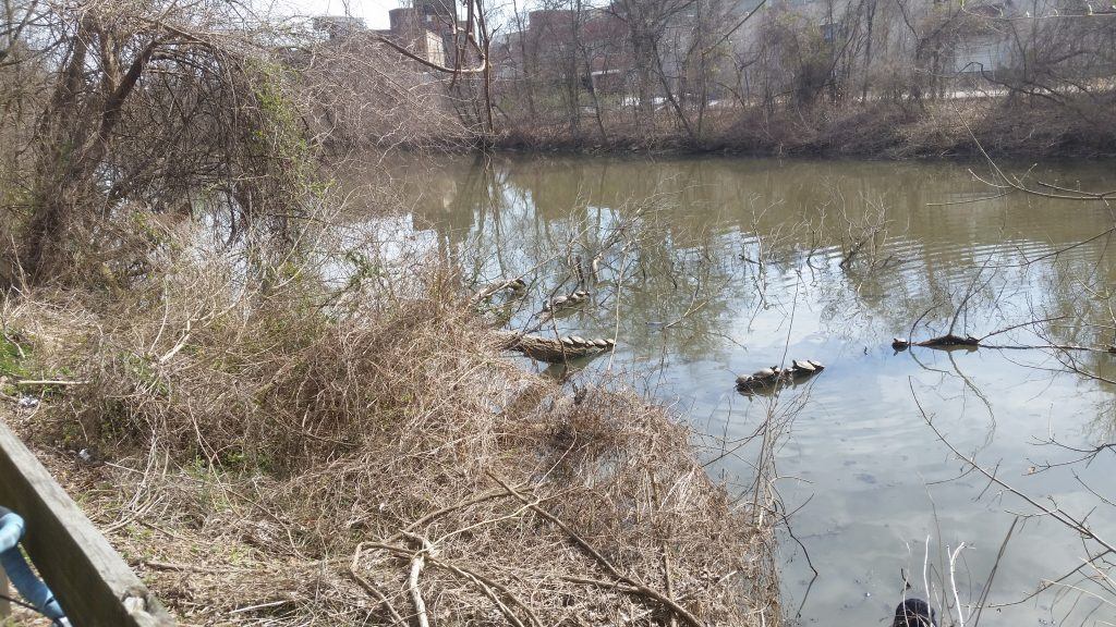 turtles on riverbank
