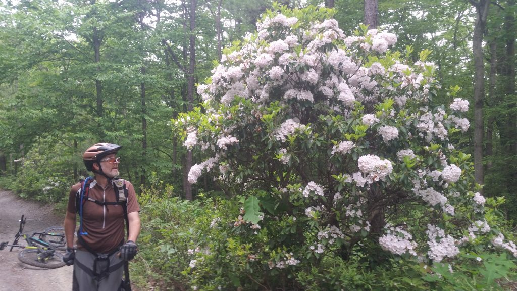 cyclist with mountain laurel